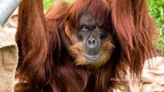Farewell to the Oldest Sumatran Orangutan in the World!