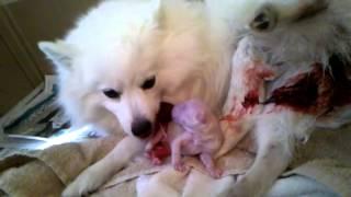 American Eskimo giving birth part2