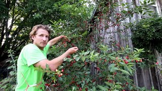 I Made a Delicious Snack From My Sour Cherry Harvest