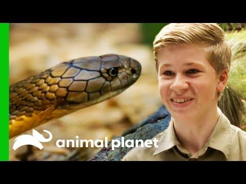 Robert Irwin Helps Wes Wrangle A Deadly King Cobra Crikey It s The Irwins