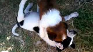 Video0092.mp4 pitbull