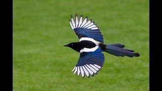عبيد العوني  طائر  لا يوجد  في العالم  الا في السعودية  العقعق العسيري