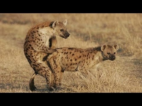Xxx Mp4 Hyena Mating Hard In The Wild 3gp Sex
