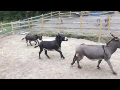 Donkey Fall Frolicking 2016
