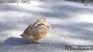 muş'lu kuş