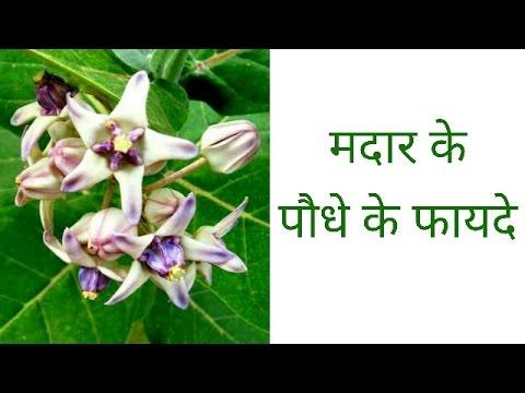 मदार के पौधे के फायदे | benefits of madar plant | madar ke poudhe ke fayade | janiye kaise |