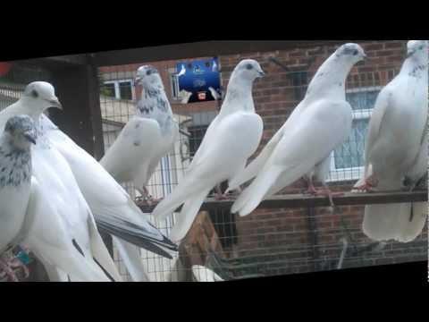 pakistani pigeons raja tasir 2011 & 2012