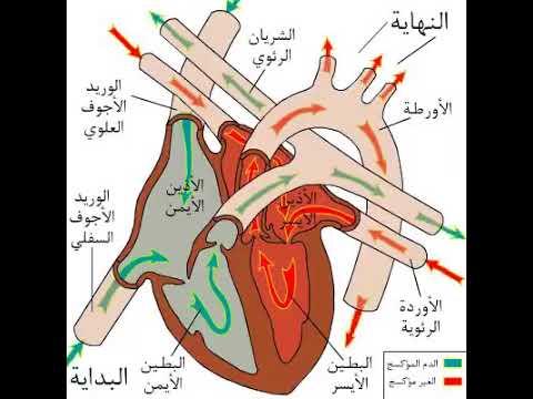Xxx Mp4 الدورة الدموية عند الإنسان 3gp Sex