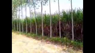 Eucalyptus plantation 70 times return in five yrs 100% safe investment