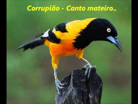 Toque para Celular Corrupião