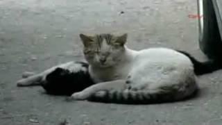 Un chat tente de réanimer sa petite-amie (pas moi qui ai enregistré cette vidéo!)
