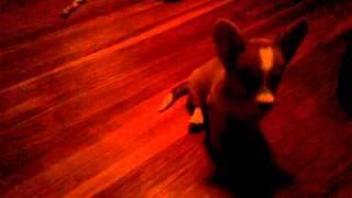 smart corgi puppy, 11 weeks old