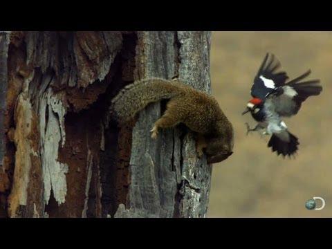 Woodpecker Fends Off Squirrel North America