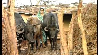 Gujarati lady herding buffaloes with a smile