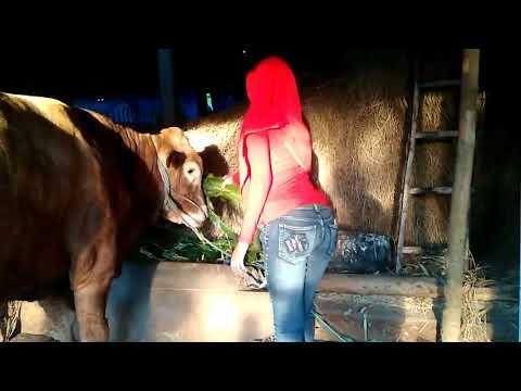 Xxx Mp4 Amazing Girls Meeting Cow Comedy Beauty BM Cattle 3gp Sex