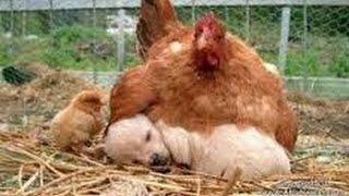 اشجع دجاجة في العالم