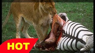 Wild Documentary Africa s Lions vs Wildebeests and Zebra HD 720p