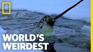 Narwhals   World's Weirdest