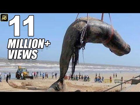 Worlds Biggest Dead Whale Fish At Juhu Beach Mumbai