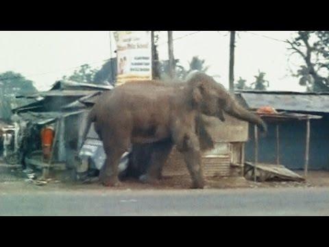 Xxx Mp4 Elephant Rampage In Siliguri सिलीगुड़ी में जंगली हाथी ने मचाया उत्पात तबाह कर दिए सैकडों घर 3gp Sex
