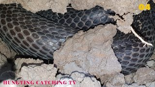 Dig a cave to catch snakes episode 04: Cobra 3kg| Hunting Catching TV