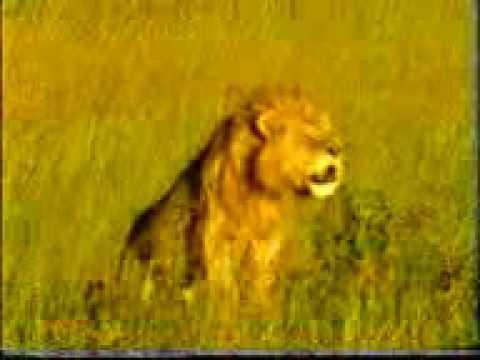 LION.TAIGAR.3gp