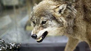 وثائقي  وادي الذئاب القاتله