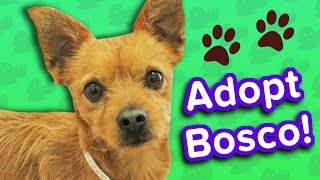 Adopt Bosco! // Chihuahua Mix // Adoptable Featurette
