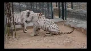 Real Animals Battle HD قتال فضيع بين الحيوانات ينصح عدم مشاهته لذوي القلوب الضعيفة