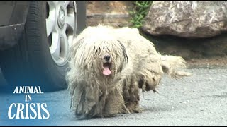 Ragged Dog Neglected For Years Wishes To Be Loved By People Again   Animal in Crisis EP74