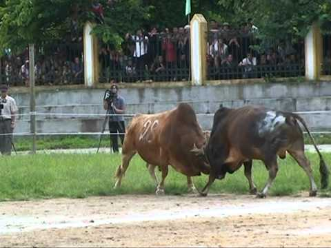 Full Lễ hội chọi bò huyện Mèo Vạc lần thứ nhất năm 2011