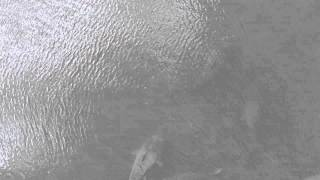Huge Catfish in Florida River