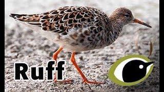 BTO Bird ID - Ruff