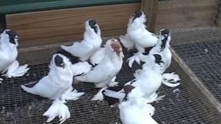 Color Pigeon Pt 1 of 2.mpg