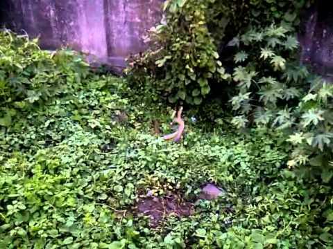 Xxx Mp4 Rare King Cobra Snake Dance 3GP 3gp Sex