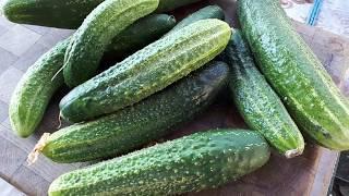вкуснейший салат  С ПЕРЕРОСШИХ ОГУРЦОВ
