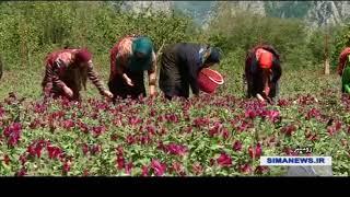 Iran Viper buglosses harvest, Shuil village, Roudsar county برداشت گل گاوزبان روستاي شويل رودسر