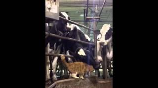 Cow & cat - best friends! -3