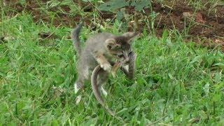 Anak Kucing Vs Kobra?