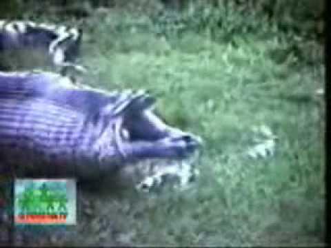 Serpiente comiendo un Hipopotamo