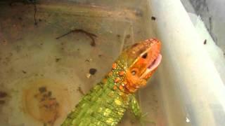 Caiman Lizard gets life snails