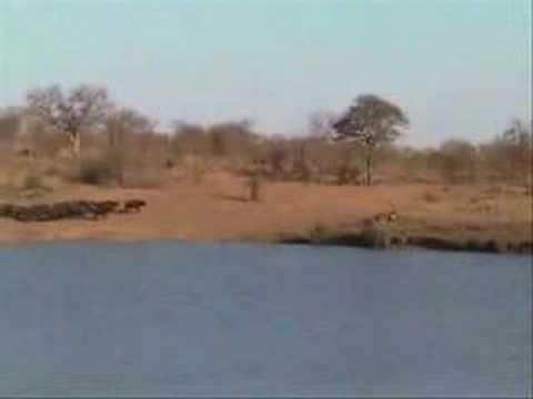 Briga de Búfalos X Leões X Crocodilo A melhor vesão .
