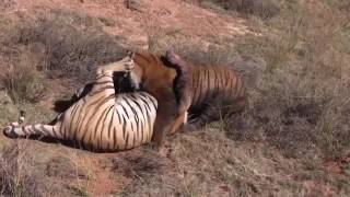 Best Animal Fights Caught On Tape 2017   Wildlife Animal Attack   Lion vs Hyenas vs Tiger Real Fight