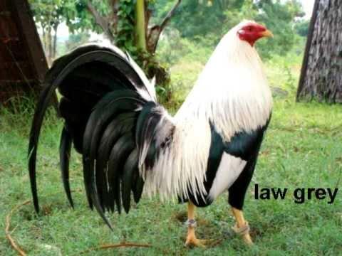 razas de gallos a few rooster bloodlines