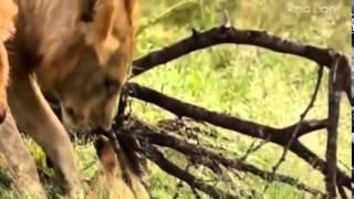 Animals Documetary Lion's Most Dangerous Enemy Lion's Documentaries