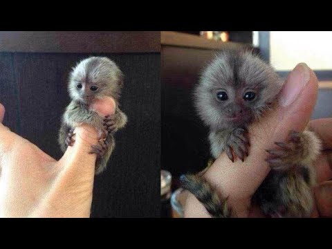 Exotic pets: Tiny pet monkeys in China; Mom cooks son's $3,000 pet fish - Compilation