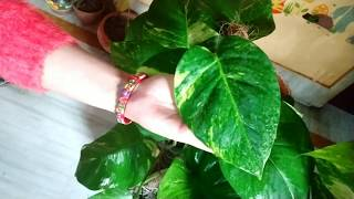 How to get big leaves on *Money plant.....पत्तियां होंगी बड़ी और हरी