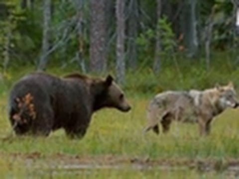Viking Wilderness Wolves and Bears Clash