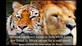 New Discovery - Tiger vs Lion fight - real fight- Who would win? **PART 2**