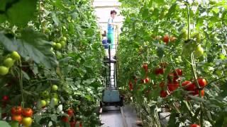 La Nicolae Bălcescu, fostul fotbalist Andrei Ianţoc cultivă roşii în vată minerală 1